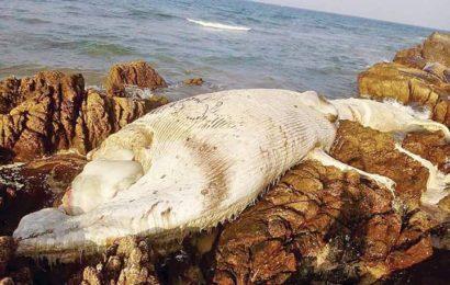 အလျား ၃၂ ပေ၊ လုံးပတ် ၁၆ ပေရှိ အပြာရောင်ဝေလငါးကြီး ငွေဆောင်ကမ်းခြေတွင် ပုပ်ပွသေဆုံးနေ